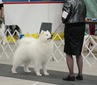 BPIS GCH & CFC CH DUSHANBE'S DREAMBOAT,  CGN  RA (Crush)
