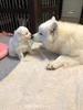 Snowstar's White Dog Solstice (Neko)